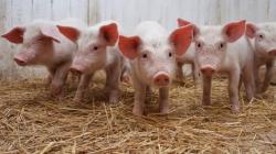 Проверки свинохозяйств и мясоперерабатывающих предприятий могут вернуть