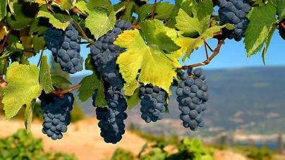 Дело.ua: Высыхающая лоза: как развивается украинское виноделие без Крыма