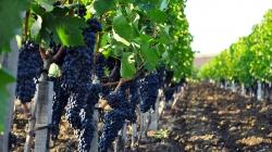 Конференция «Успешное виноградарство в Украине-2016″ соберет виноградарей и виноделов в Одессе