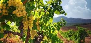 На возрождение виноградарства нужно 12 млрд грн