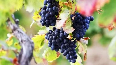 В Украине будут развивать виноградарство