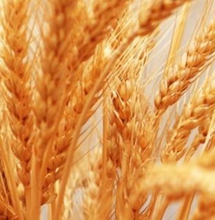 Типовой бизнес-план организации выращивания зерновых культур