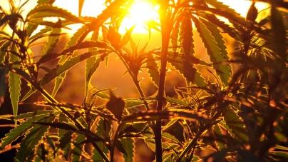 Владелец пивного бренда Corona инвестирует $3,8 млрд в производство марихуаны