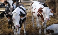 Аграрная расписка на выращивание племенного скота