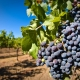 У Kоблево зібрали більше 10 тисяч тонн винограду