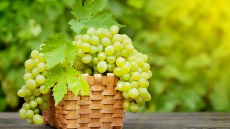 На виноробні KOBLEVO розпочався сезон збору врожаю винограду! Вітаємо виноградарів!