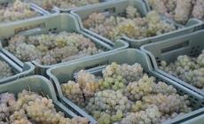У Kоблевому зібрали 9,5  тисяч тонн винограду!